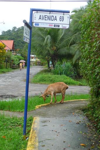Goat under the rain